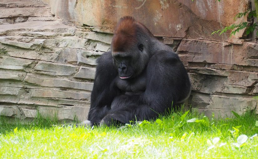 disappointed gorilla